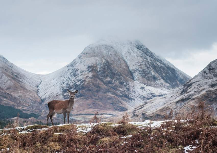 A deer with snowcapped mountains behind