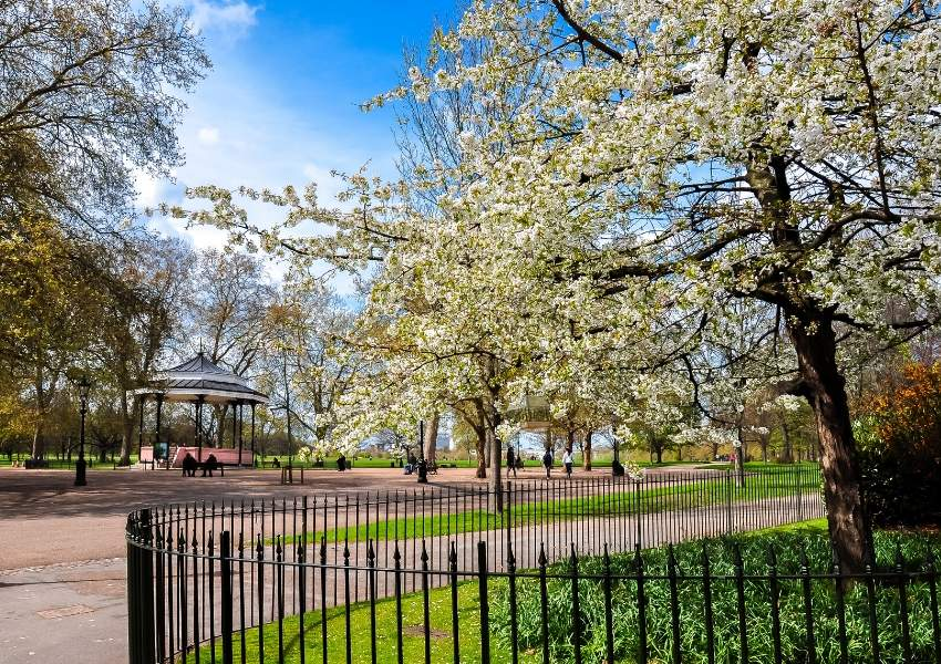 A picture of cherry blossom on trees at Hyde Park in London