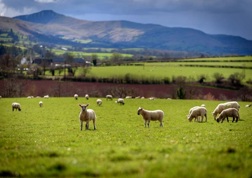 Lambs grazing in a field