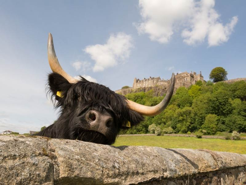 A cow looking over a wall with a castle in the background