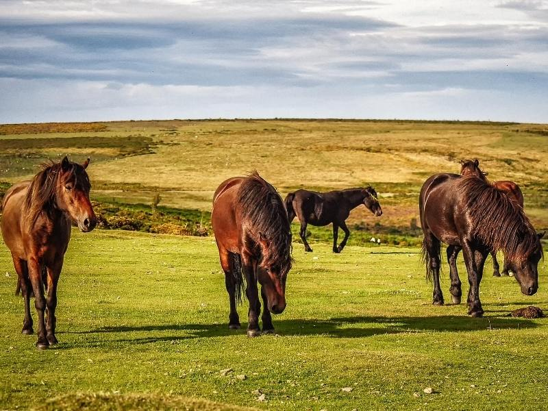 Dartmoor Ponies can be seen on Dartmoor one of the places to visit in South West England
