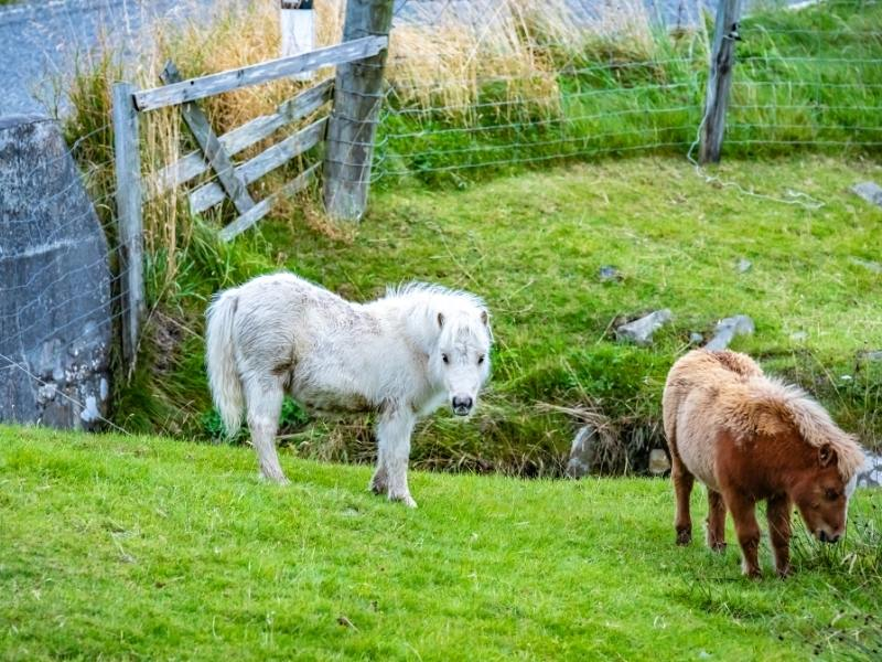 Shetland ponies on Yell one of the best Scottish islands