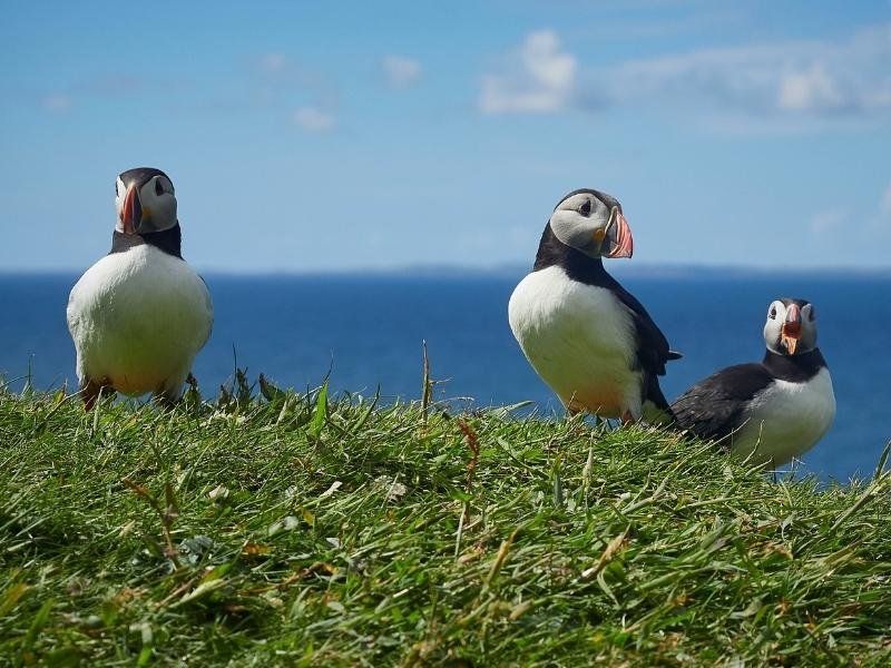 Puffins like these can be seen at the Scottish Seabird Centre