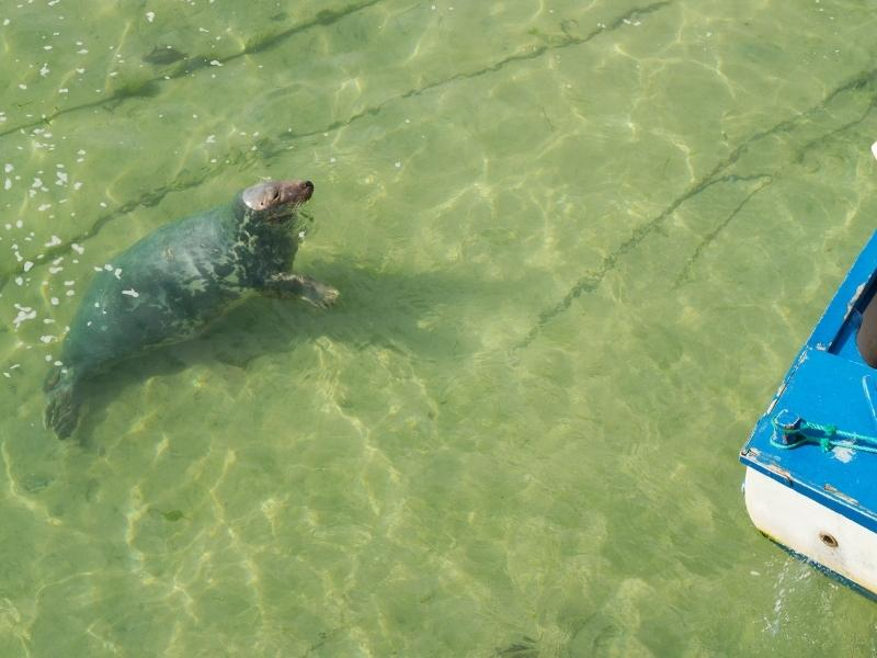 Seal spotted off a boat in St Ives bay.
